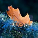 Autumn's Last Leaf. thumbnail
