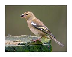 Chaffinch (f) (Amar Sood) Tags: amarsoodphotocom amarsoodphotography nikon d800e tamron150600 bird birding birder chaffinch nature linfordlakesnaturereserve naturereserve wildlife