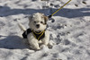 Lenny (Thomas Mulchi) Tags: 2017 bettlach kantonofsolothurn switzerland animal dog lenny puppy solothurn ch