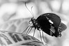Take 5 (Elke Bosma-Prins) Tags: blackandwhite butterfly animal critter monochrome outdoor insects macro closeup details