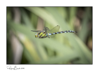 Colourful Southern Hawker Dragonfly in flight