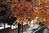 木漏れ日 (eyawlk60) Tags: 木漏れ日 晩秋 秋 日本 寝屋川市 散歩 eos m6 canon neyagawashi autumn lateautumn leaves maple