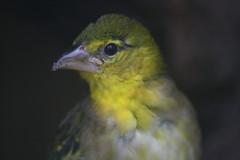 Vogel (Jasardpu) Tags: zoo karlsruhe webervogel tier vogel animal bird