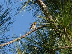 American Goldfinch (Cajunspice) Tags: browardcounty bc americangoldfinch mpp