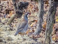 PERDIZ ROJA (BLAMANTI) Tags: perdizroja aves avesdeespaña canonpowershotsx60 canon caza viñedos viñas viticultura vino