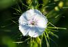 Flower (LuckyMeyer) Tags: blume blüte makro white green flower fleur sun garden summer karthäusernelke