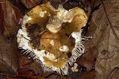 Smile (De Rode Olifant) Tags: autumn nature mushroom fungus marjansmeijsters