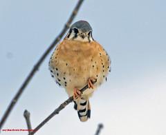American Kestrel. Falco sparverius. (rumerbob) Tags: americankestrel kestrel falcon bird birdwatching birdwatcher peacevalleypark lakegalena wildlife wildlifewatcher naturewatcher nature canon7dmarkii canon100400mmlens