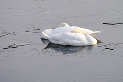 True Love on Ice........... (klythawk) Tags: swans ice frozenpond wildlife nature winter white grey beige black olympus omd 100400mm panasonic attenboroughnaturereserve wildlifetrust nottingham klythawk