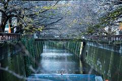 Nakameguro Sakura river (Pop_narute) Tags: river tree sakura nature autumn tokyo nakameguro japan street life