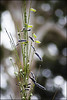 Broom Bush (duobel) Tags: broombush seedpods bokeh nature australia southaustralia