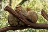 Hugs for everyone - Câlins pour tout le monde (Sébastien Vermande (Only the Weekend)) Tags: canon100d france midipyrénées lot automne autumn arbre tree forêt forest singe monkey animal bokeh sigma150mm28exdg vermande