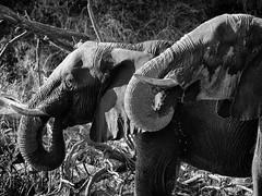 20170720-154158-00032B-sw (hugoholunder) Tags: elefant okowangodelta flickr botswana