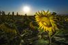 Landscape Thailand (♥siebe ©) Tags: 2017 siebebaardafotografie thai thailand sunflower wwwsiebebaardafotografienl flower sun zon ดวงอาทิตย์ ดอกทานตะวัน ดอกไม้ landscape ภูมิประเทศ bright