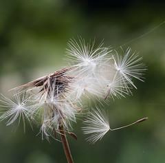 DSC_5963 (capt_tain Tom) Tags: flowers weeds weed ragweed