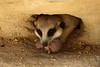 Adelaide Zoo (Alan McIntosh Photography) Tags: animal zoo nature wildlife adelaide meerkat birth