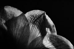 MY AMARYLLIS! Lit by candle light! (Ageeth van Geest) Tags: 7dwf flower flora amaryllis candlelight monochrome blackandwhite bw macromondays litbycandlelight