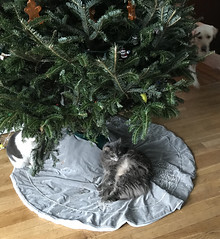 Under The Tree with Kitties (Cheeseisboss) Tags: roy isabella goliath christmas tree
