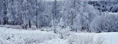 Frosty (Stefano Rugolo) Tags: stefanorugolo pentax k5 pentaxk5 smcpentaxm50mmf17 frost frosty landscape winter tree forest crop hälsingland sweden snow wood