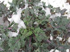 Garden Hotline - Community Gardens - Durable Brassicas (gardenhotline) Tags: community gardens edible veggies snow wallingfordtilthalliance brassicas kale