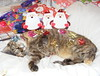 Erica's Christmas 2017..x   1 (carlene byland) Tags: cat erica christmas sleeply bed bows gifttags comfy fatherchristmas eyes bestfriend ilovemycats kettering