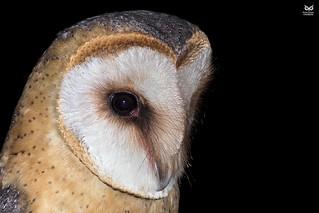 Coruja das Torres, sub. esp. guttata, Dark-breasted Barn Owl (Tyto alba guttata)