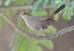 INdian Robin-Female (Venugopal Bsnl) Tags: venugopalbsnl serilingampally images imagesvenugopalbsnlgooglebest river tern bushchat