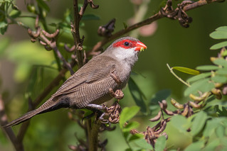 Common Waxbill ( 7DC_6431-1)