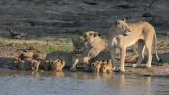 Lions Panthera leo (massimobruno1) Tags: lions leoni sudafrica cuccioli bush wild