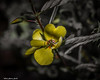Cold Yellow (that_damn_duck) Tags: nature flower petals blossom blooming stems