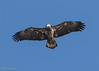 The Spotter being Spotted (bmcvisions) Tags: bald eagle raptors eagles pennsylvania
