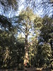 Tall tree in Monkey Park near Azrou, Morocco (Paul McClure DC) Tags: azrou ifraneprovince morocco maroc almaghrib jan2017 middleatlas fèsmeknèsregion scenery