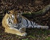 Something Moved Down There (decorace51) Tags: autumnal alert hope tiger yorkshire wildlife park
