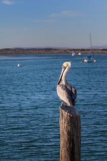 Pelican Morro Bay