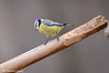 Cinciarella _010 (Rolando CRINITI) Tags: cinciarella uccelli uccello birds ornitologia cisliano natura