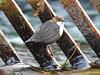 Black-bellied Dipper (Corine Bliek) Tags: vogel vogels birds birding bird insectivorousbird waterval water stream stroom nature natuur wildlife winter