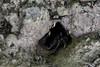 20171225-0I7A4971 (siddharthx) Tags: singapore sg redearedslider sungeibulohwetlandreserve canon7dmkii ef100400mmf4556lisiiusm nature wildlife migratorybirds whitebreastedwaterhen milkystork whimbrel commongreenshank commonredshank lessersandplover curlewsandpiper chineseegret greatercrestedtern orientalpiedhornbill collaredkingfisher orientaldollarbird greyheron vulnerable mangroves wetlands marsh nparksbuzz tree water mangrove bird landscape paintedstork purpleheron sky animal greategret snowyegret habitat nightheron forest wood monitor watermonitor lizard saltwatercrocodile grass malayanwatermonitor asianwatermonitor commonwatermonitor twobandedmonitor ricelizard ringlizard plainlizard nomarklizard periophthalmusargentilineatus rock river foliage gerridae waterstrider pondskaters waterskippers jesusbugs birdsinflight birdsinthewild wetland egret crab