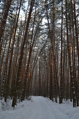 Pine alley I (МирославСтаменов) Tags: russia moscowregion pinery forest alley tree snow winter