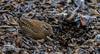 DSC_1098 Wren hunting in leaf litter (Rattyman76) Tags: wren leaflitter d500 nikon20005000mmf56 penningtonflash
