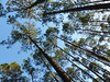 Looking up (alansurfin) Tags: southern pine trees pinetree up blue sky evergreen trunks boles crowns florida woods