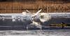 Swans lifting off (kenemm99) Tags: rspb winter lancashire 5dmk3 birds leightonmoss canon places kenmcgrath swan