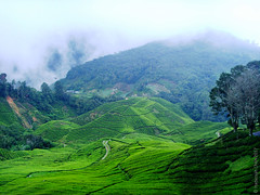 Malaysian Highlands (Wonder Kitsune (Catching up !)) Tags: malaysia malaysiahighlands camellia tea bushes plantation montane montaneforests hillstations green greencarpet humanimpact environment