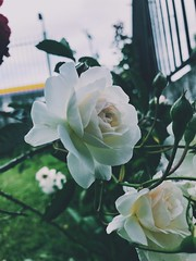 (lcaceles) Tags: nice apple iphone iphone7 vsco rosas flores