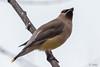 Dipped in Wax (MelRoseJ) Tags: cedarwaxwing nature northerncalifornia a77ii alpha autofocus sonyalpha sony sonyilca77m2 birds bayarea
