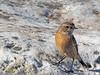 Saxicola rubicola (Tarabilla europea) (6) (eb3alfmiguel) Tags: pájaro aves passeriformes insectívoros turdidos turdidae tarabilla europea saxicola rubicola