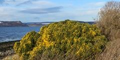 Gorse Bush, Alanfearn, near Inverness, Dec 2017 (allanmaciver) Tags: gorse bush hardy tough colour december walk alturlie allanfearn black isle moray firth highlands scotland weather clouds allanmaciver