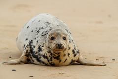 B79I0498 (tonyesp66) Tags: grey seals horsey gap seal pups wildlife photography