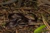 Wolf Snake (Lycodon capucinus) (Jari Cornelis) Tags: jari cornelis canon macro 700d 60mm herp herping herpetofauna wolf snake lycodon capucincus colubridae bali indonesia wild wildlife nature