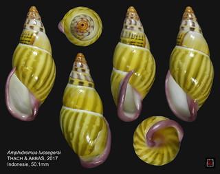 amphidromus lucsegersi2indonesie 50mm1