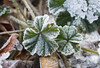 GIMGP3271 (Ice's photos) Tags: givre neige hiver winter provence snow leeves leaves leaf iceleaf deadleaves ice cold macro closeup floor froid nature outdoor outside glace